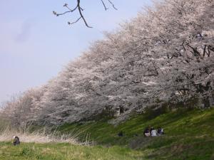 入間川の桜並木