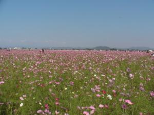 板倉町の日本一のコスモス畑1