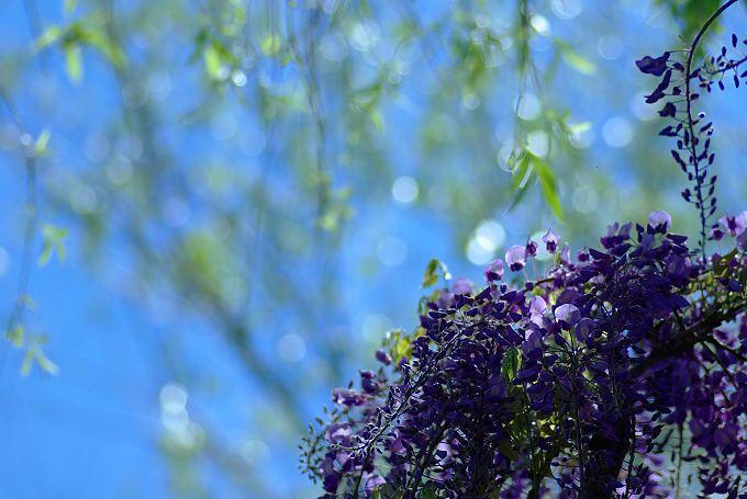 青空に藤、御衣黄桜
