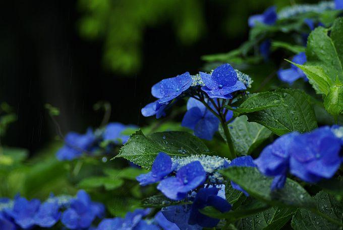 紫陽花が咲く風景 其の弐